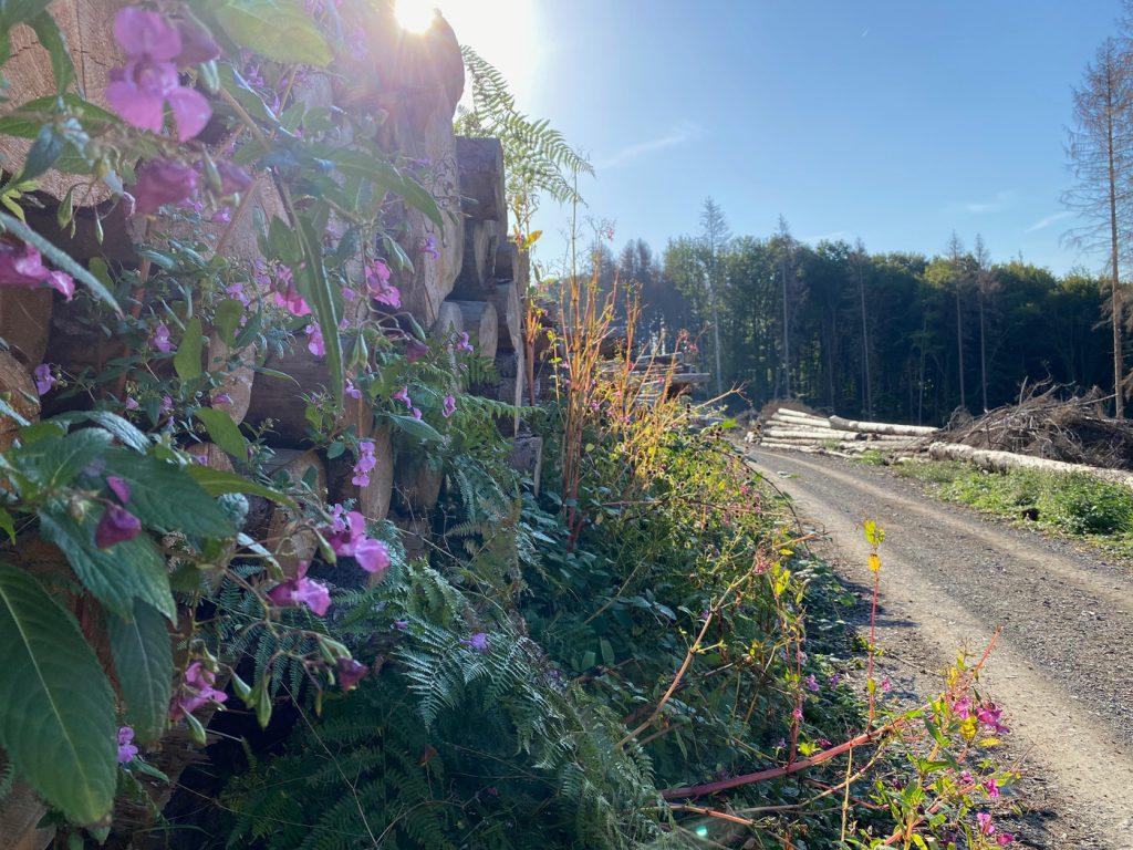 Indisches Springkraut im Bergischen Land - Walk and Wonder