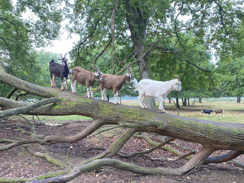 Ziegen in der Wahner Heide - Walk & Wonder